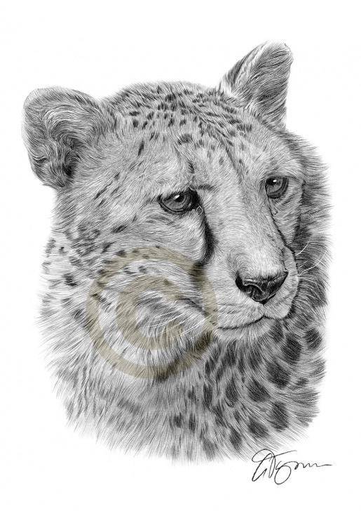 Amazing Cheetah Pencil Drawing Easy Pencil Drawing Of A Cheetah By Artist Gary Tymon Pic