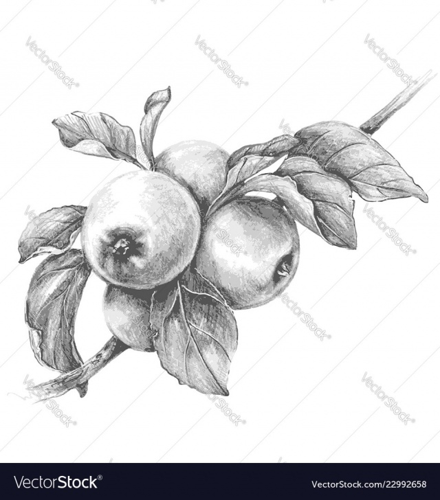 Amazing Pencil Sketch Of Apple for Beginners Apple Branch Pencil Drawing Pics