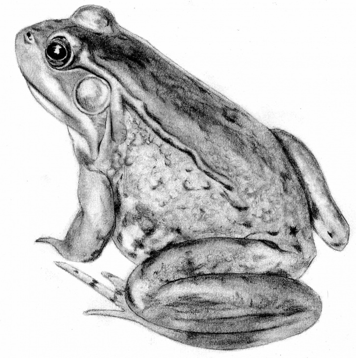 Pencil Sketch Of Frog