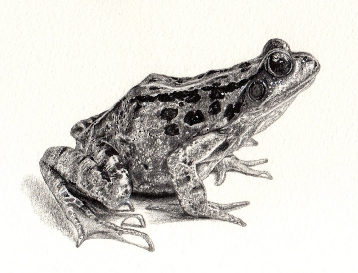 Amazing Pencil Sketch Of Frog Techniques for Beginners Free Frog Drawing, Download Free Clip Art, Free Clip Art On Clipart Pic