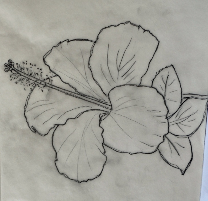 Amazing Pencil Sketch Of Hibiscus Flower Simple 12 Fancy Hibiscus Flower Pencil Drawing Gallery - Flower Drawing Photo