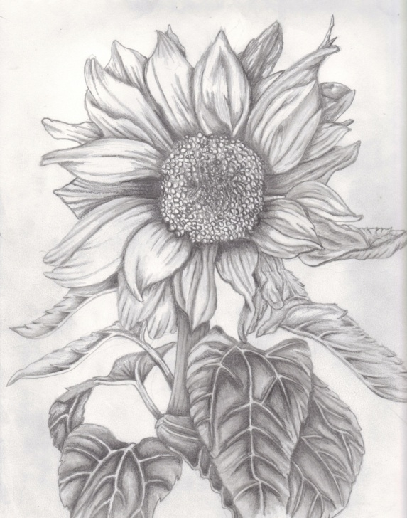 Amazing Sunflower Pencil Drawing Tutorials Sunflower Pencil Sketch At Paintingvalley | Explore Collection Photos