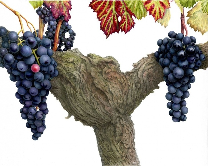 Awesome Ann Swan Botanical Artist for Beginners Ann Swan Artist   Merlot By Ann Swan   Botanical Ann Swan In 2019 Images
