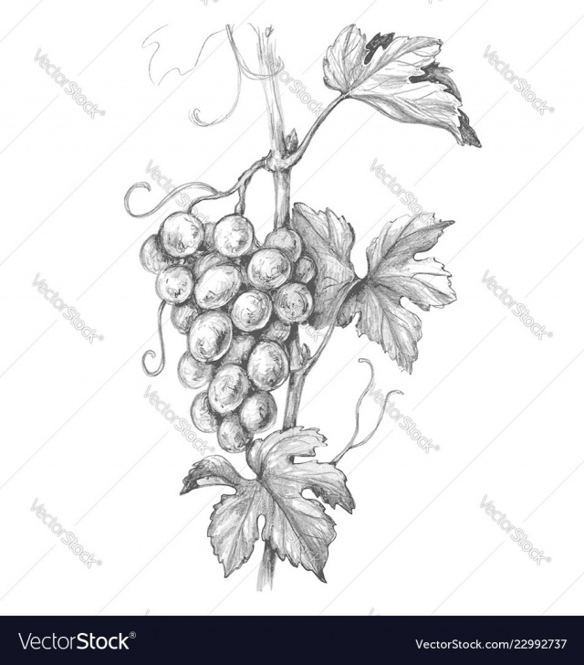 Awesome Grapes Pencil Drawing Techniques Grape Branch Pencil Drawing Pics