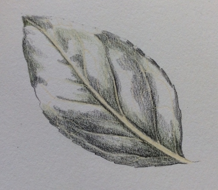 Awesome Leaf Pencil Shading Techniques Shiny Leaf Step-By-Step | Picture