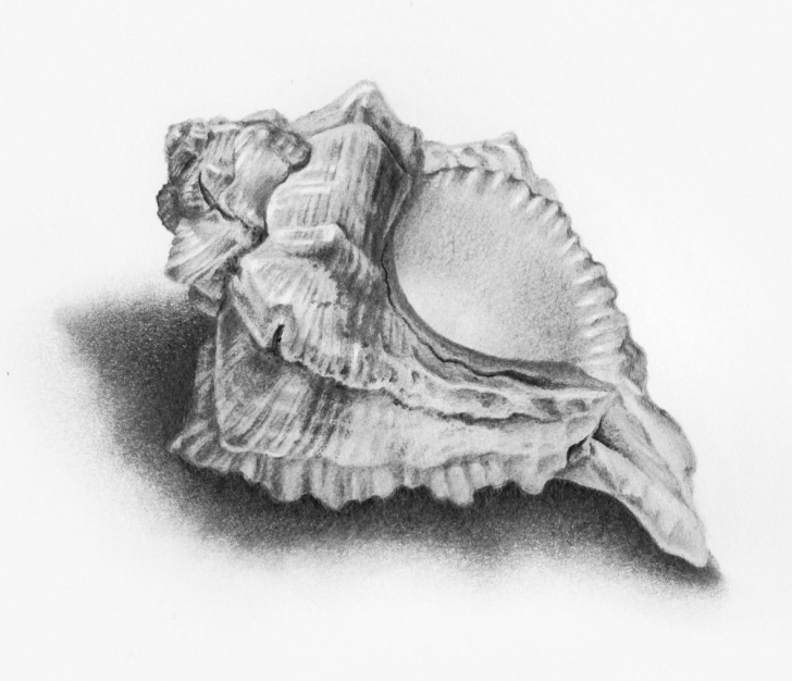 Awesome Seashell Pencil Drawing Tutorials Shells Drawings - Google Search | Ap Art Ideas In 2019 | Shell Photo