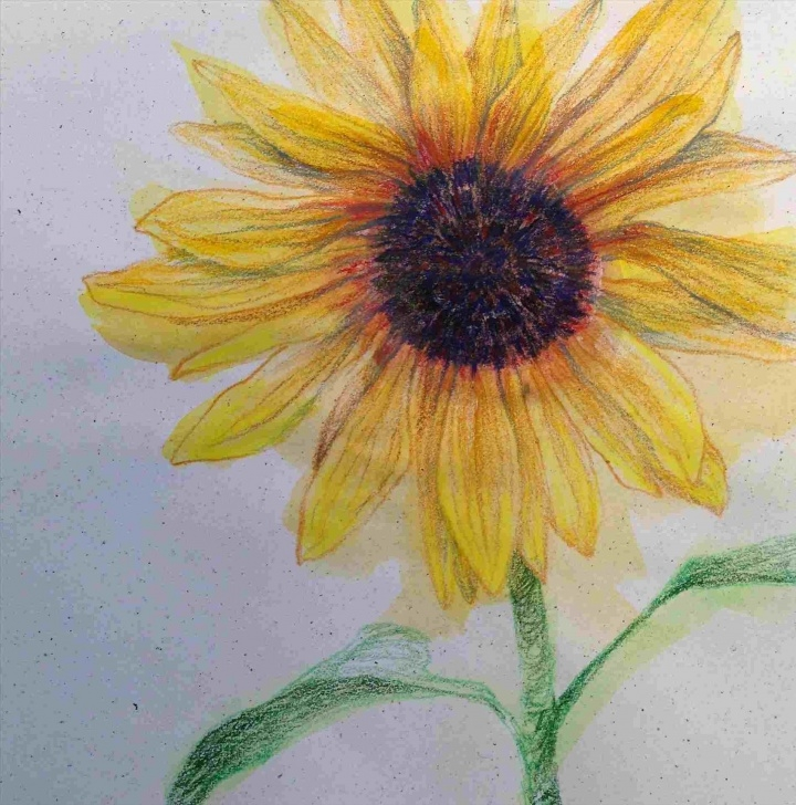 Awesome Sunflower Colored Pencil Ideas Sunflower Colored Pencil Drawing Colored Pencil Drawing Of A Pics