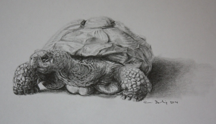 Awesome Tortoise Pencil Drawing Tutorial Giant Tortoise Named Colombo. Graphite Sketch By Simon Darling | 龟 Picture