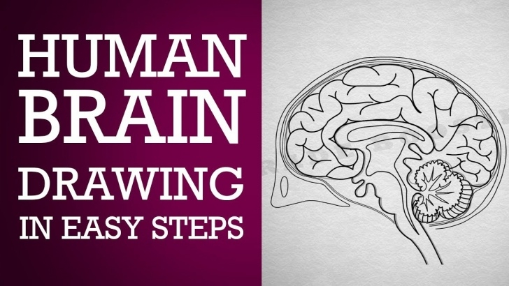 Best Brain Pencil Drawing Lessons How To Draw Human Brain Step By Step :control & Coordination| Ncert Class  10 | Cbse Biology| Science Pic