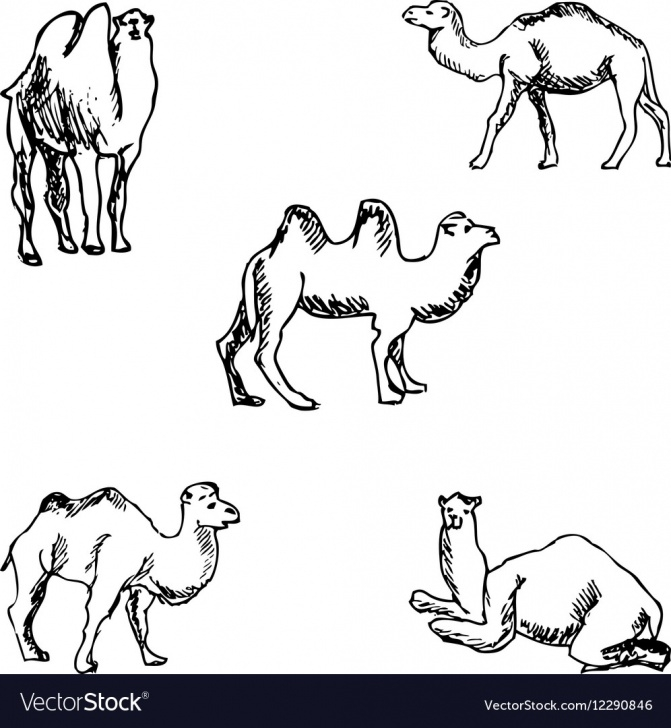 Best Camel Pencil Sketch Free Camels A Sketch By Hand Pencil Drawing Photos