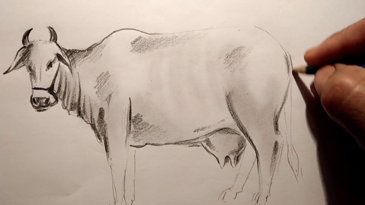 Best Cow Pencil Drawing Step by Step A Cow Pencil Sketch Pictures