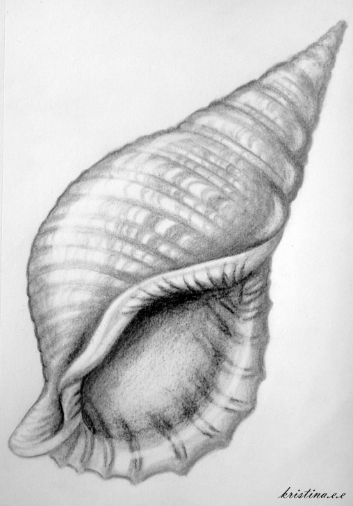 Drawings Of Shells In Pencil