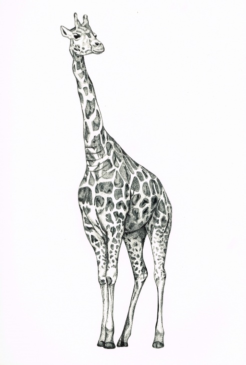 Giraffe Pencil Sketch