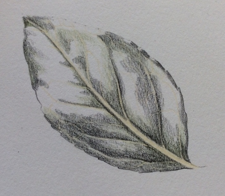 Best Leaf Pencil Sketch Step by Step Leaf Pencil Sketch At Paintingvalley | Explore Collection Of Photos