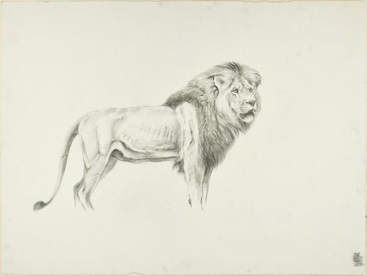 Best Lion Pencil Sketch Step by Step Profile Of Lion - Original Pencil Drawing By Willy Lorenz - Mid 20Th Century Pictures
