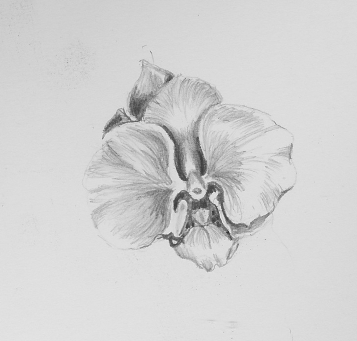 Best Orchid Pencil Drawing Ideas Orchid Pencil Sketches At Paintingvalley | Explore Collection Of Picture