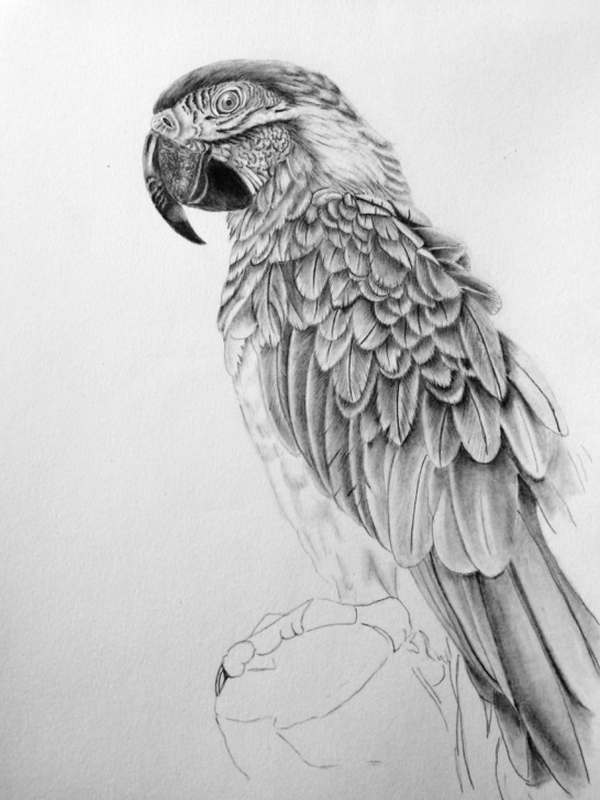 Best Parrot Pencil Sketch Simple Photorealistic Parrot Pencil Drawing | Birds In Nature And Garden In Pic