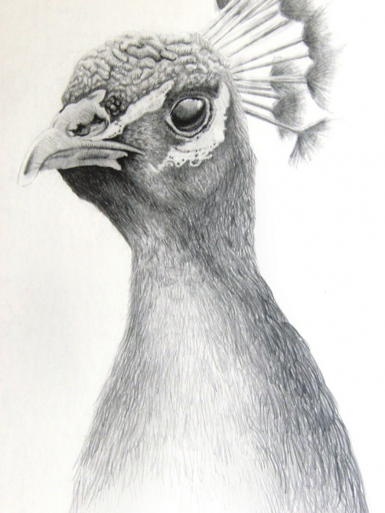 Best Pencil Drawings Of Birds And Animals Ideas Pencil Sketches Of Animals At Paintingvalley | Explore Pictures