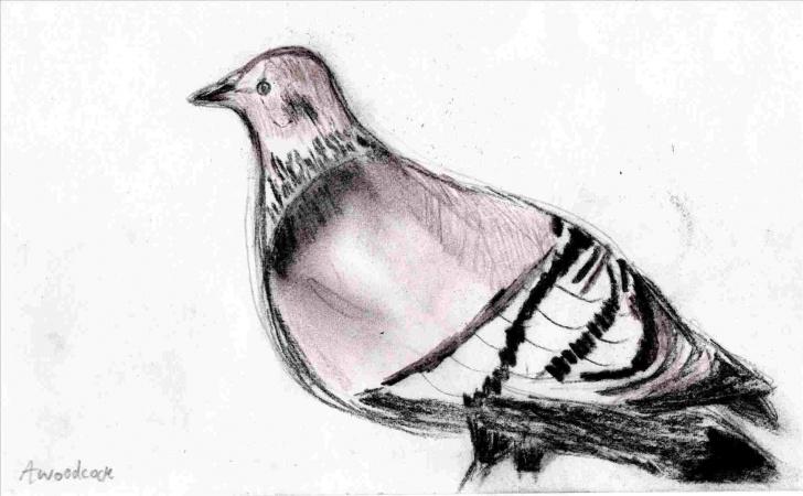Best Pigeon Pencil Sketch Tutorial Pencil Sketch Of Pigeon Pic
