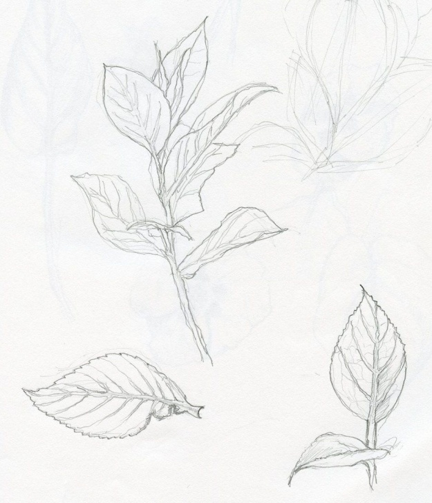 Plant Pencil Drawing