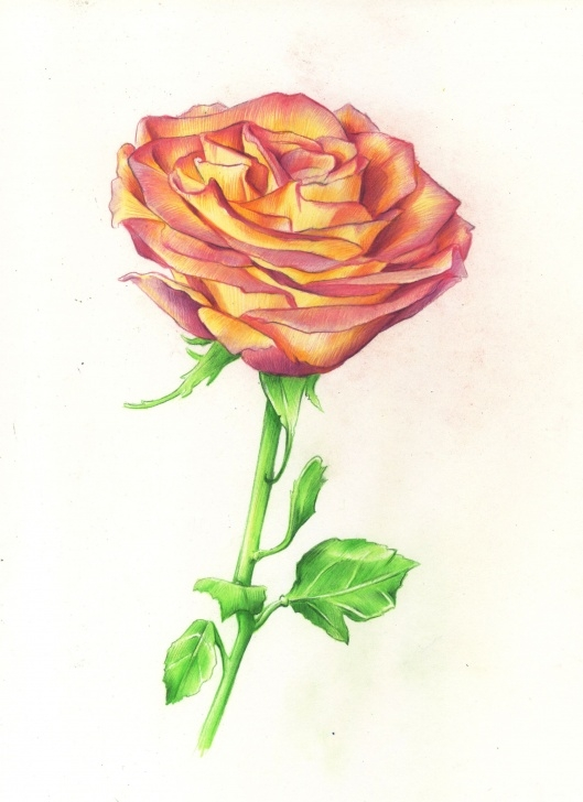 Best Rose Color Pencil Drawing Easy Drawing Roses In Graphite Pencil And Colored Pencil | ♥️art Image