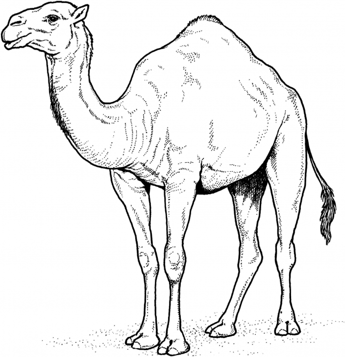 Excellent Camel Pencil Drawing Free Easy Camel Drawing At Paintingvalley | Explore Collection Of Image