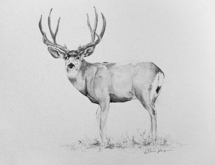 Excellent Deer Pencil Sketch Simple 9X12 Inches Pencil Drawing Of A Mule Deer Buck | Art In 2019 Photo