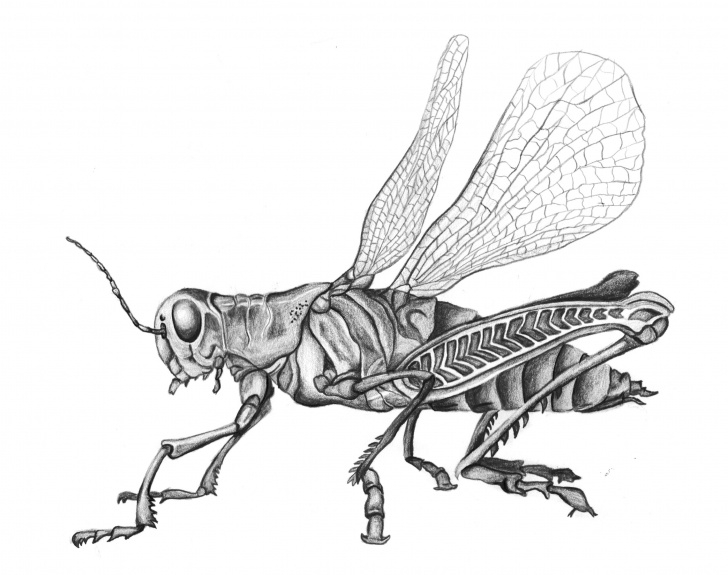 Excellent Drawing Insects Pencil Simple Grasshopper Pencil Drawing Black And White Insect Sketch | Drawings Photos