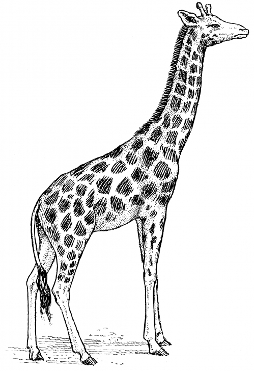 Excellent Giraffe Pencil Sketch Courses Giraffe Drawing Abstract And Giraffe Drawing, Pencil, Sketch Pictures