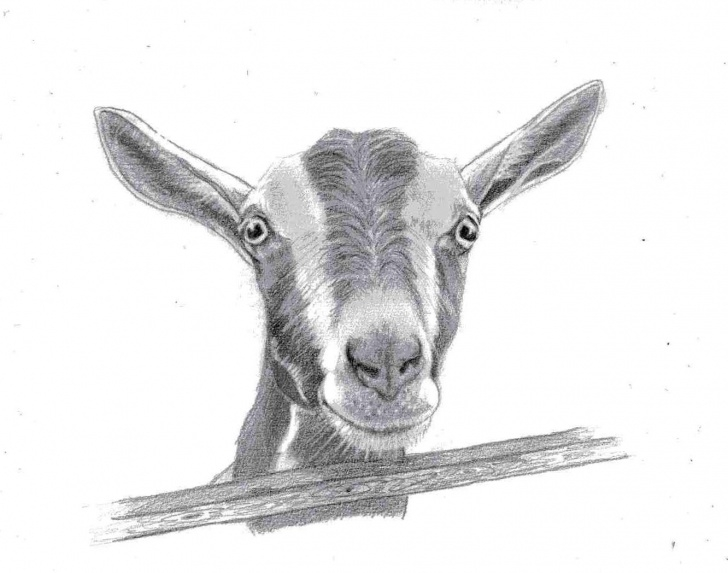 Goat Pencil Drawing