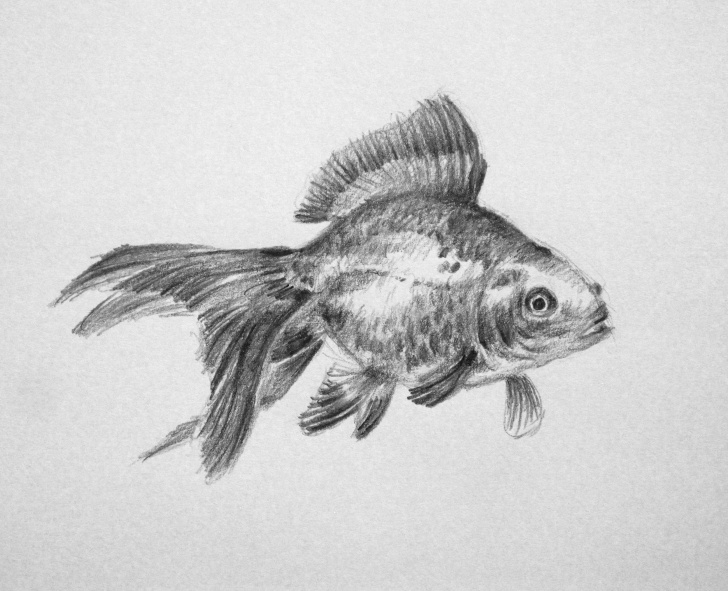 Excellent Goldfish Pencil Drawing Tutorials Goldfish Pencil Sketch And Drawings On Youtube | Art Of Wei - 8+ Photos