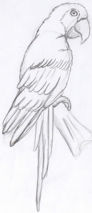 Excellent Parrot Pencil Sketch Techniques The Parrot Sketch At Paintingvalley | Explore Collection Of The Pictures
