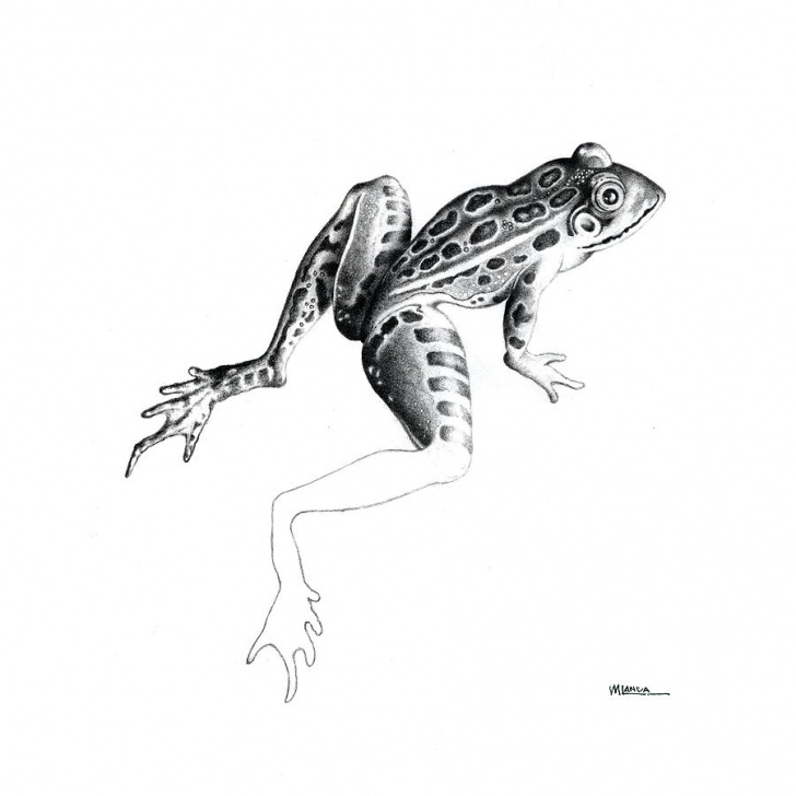 Excellent Pencil Sketch Of Frog Techniques for Beginners Leopard Frog By Michael Landa Pic