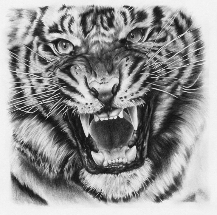 Excellent Tiger Face Drawing Pencil Simple Tiger Face Pencil Sketch And Tiger Drawing~Joshuabeatson On Pic