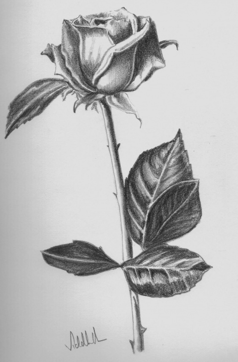 Beautiful Pencil Sketches Of Roses