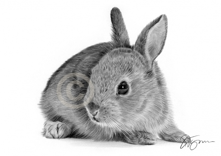 Fantastic Rabbit Pencil Drawing Simple Details About Bunny Rabbit Pencil Drawing Print - A4 Only Signed By Artist  Gary Tymon - Art Images