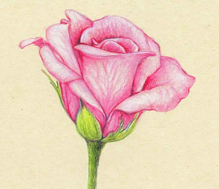 Fantastic Rose Drawing Colour Free Pencil Drawings Of Flowers And Butterflies With Colours - Google Picture