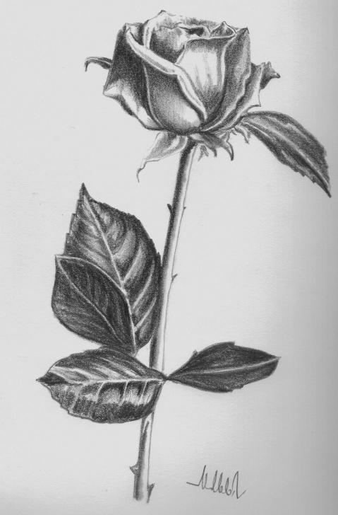 Fantastic Rose Flower Pencil Sketch for Beginners Pencil Sketch Of Rose Flower At Paintingvalley | Explore Photos
