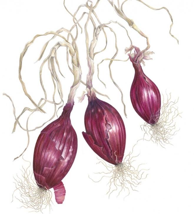 Fascinating Ann Swan Botanical Artist Lessons Ann Swan - Society Of Botanical Artists Pics
