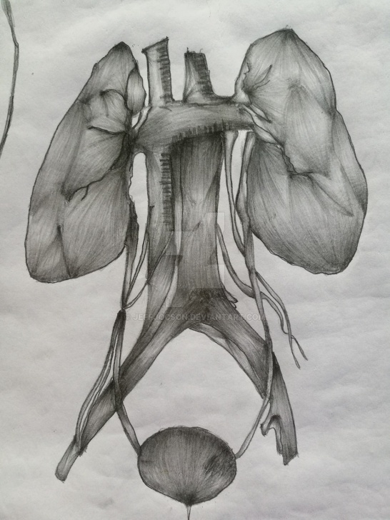 Fascinating Kidney Pencil Drawing Free Kidney Sketch At Paintingvalley | Explore Collection Of Kidney Photo