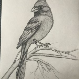 Fascinating Pencil Shading Animals Easy My Cardinal | Pencil Drawings In 2019 | Pencil Drawings, Art Photos