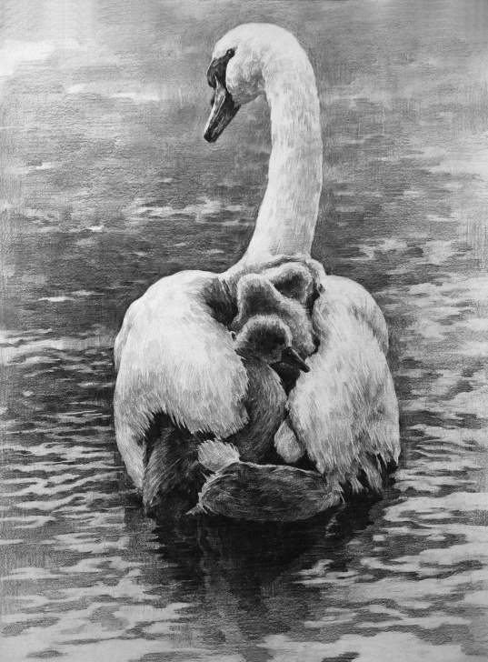 Fascinating Swan Pencil Drawing Easy A Swan By Indiart3612.deviantart / Pencil Drawing | Art: Pencil Pic
