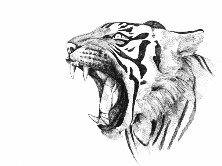 Fascinating Tiger Pencil Drawing Simple Tiger Pencil Drawing Images At Paintingvalley | Explore Picture