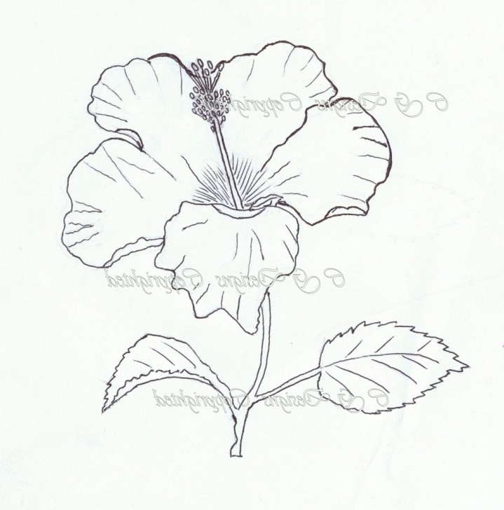 Fine Hibiscus Pencil Drawing for Beginners Hibiscus Flower Pencil Drawing At Paintingvalley | Explore Photo