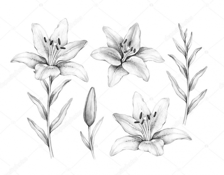 Fine Lily Pencil Drawing Step by Step Pencil Drawing Of Lily Flower — Stock Photo © Sashsmir #76210465 Pictures