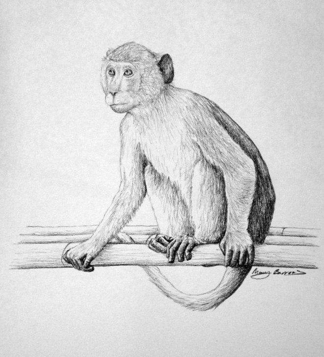 Fine Monkey Pencil Drawing Step by Step Pencil Sketch Of Monkey At Paintingvalley | Explore Collection Images