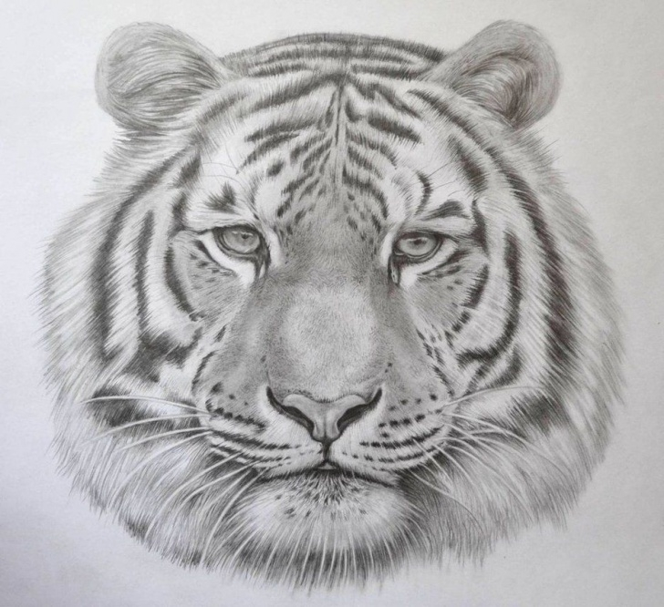 Tiger Face Drawing Pencil