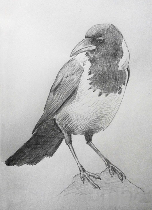 Good Crow Pencil Drawing Techniques Crow Pencil Sketch At Paintingvalley | Explore Collection Of Pictures