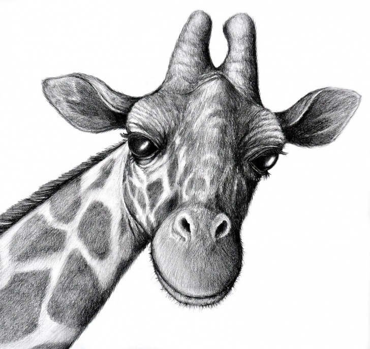 Good Giraffe Pencil Drawing Techniques for Beginners Drawn Giraffe Pencil Sketch #2 | Sketch In 2019 | Pencil Drawings Of Pics