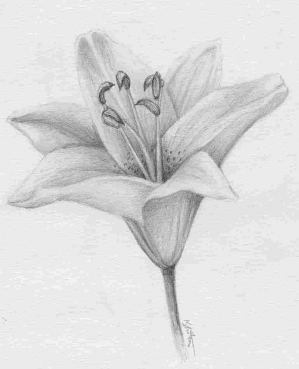 Good Lily Pencil Drawing Techniques for Beginners Images-Pictures-Becuo-Tiger-Artill-Rhpinterestcom-Easter-Peace-Lily Photos